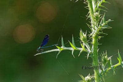 Promenade en zone humide protégée (mes premières libellules…) juin 2019